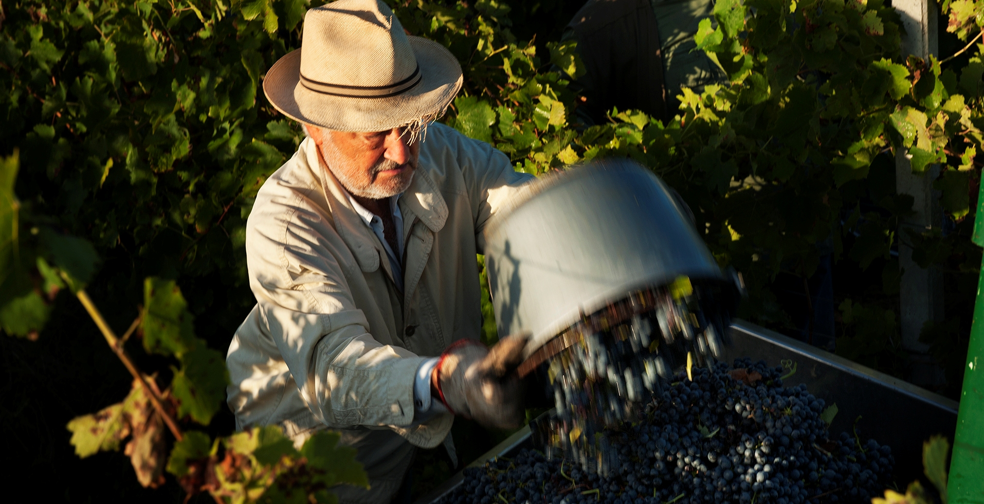 grapes being picked for the 2014 harvest